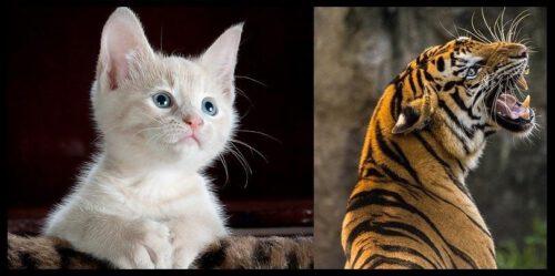 zahnloser Tiger?
